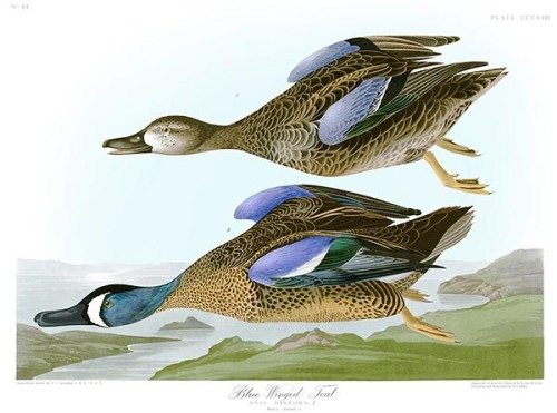 AUD044 John Audubon - Birds of America - Blue-winged Teal