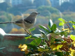 Mr. Mocking Bird is always here singing