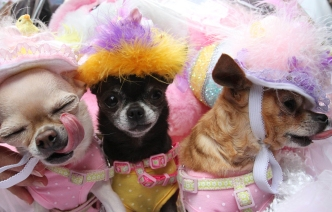 Chihuahua's Yum Yum, left, Gumdrop, center, and Lollipop take part in the Easter Parade along New York's Fifth Avenue on Sunday, April 5, 2015. The 2015 Easter Parade bore little resemblance to the first one, which started in the 1880s as a strolling display of what prosperous New Yorkers wore to Fifth Avenue churches. In recent decades, the street gathering has morphed into a sort of costume circus — including pet dogs. (AP Photo/Tina Fineberg)